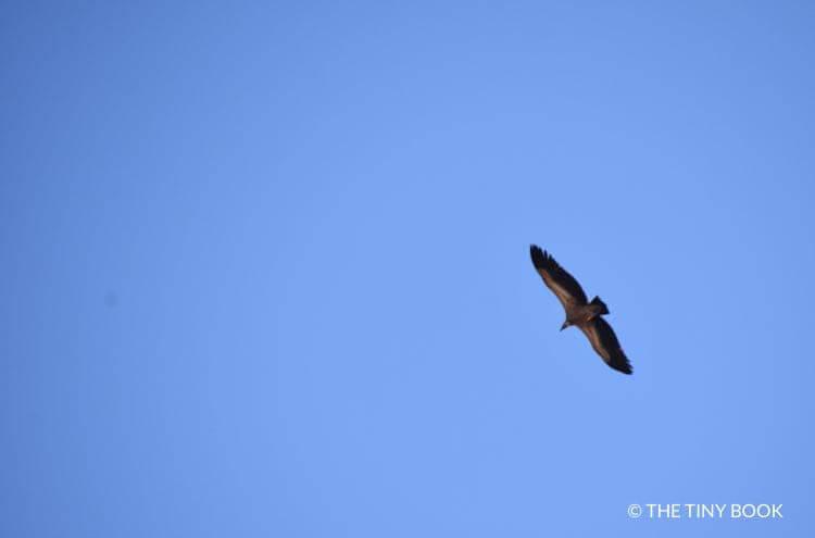 Vulture, Balos